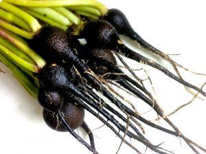 Jus de radis noir